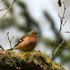 Buchfink,  (Fringilla coelebs), Common chaffinch, Pinzón vulgar