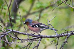 Buchfink im Gebüsch