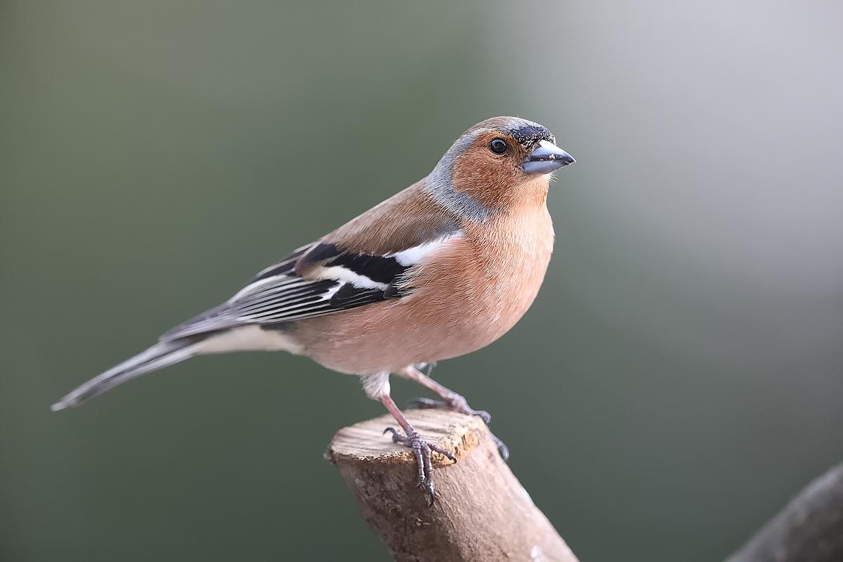 Buchfink, male