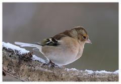 - Buchfink weiblich - ( Fringilla coelebs )