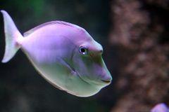 Buckel Nasendoktorfisch