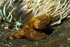 Buckel-Skorpionfisch