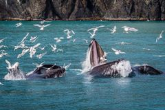 Buckelwal im Prinz Willam Sound