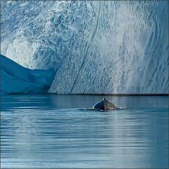 buckelwal vor  eisberg