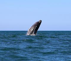 Buckelwale an Costa Ricas Pazifikküste