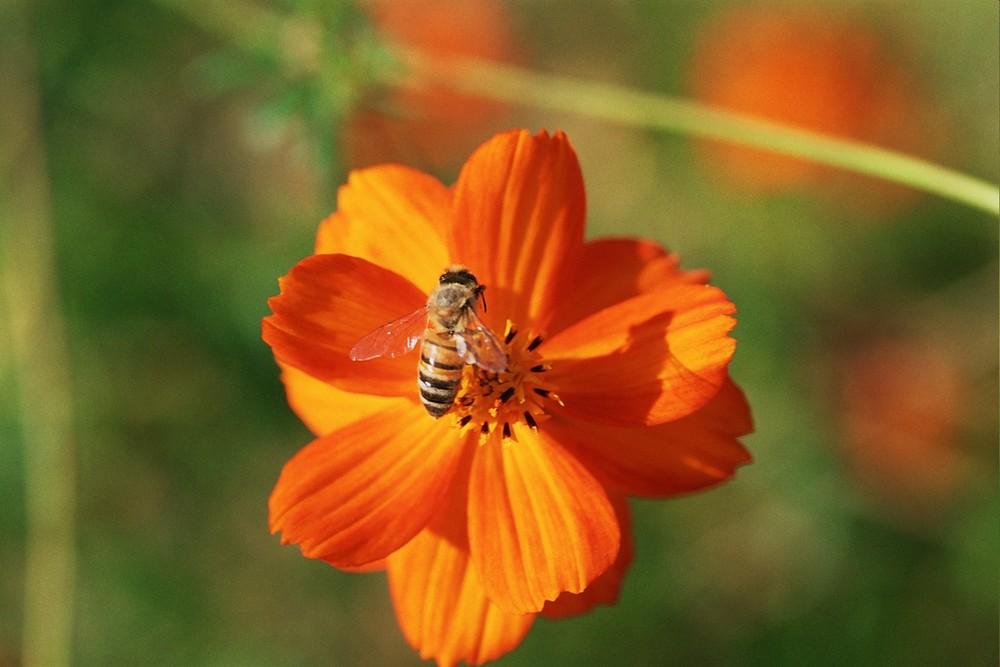 Buckfast-Biene auf cosmos sulphureus