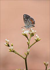 Buckwheat Blue.