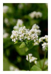 Buckwheat flower-2