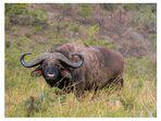 Büffel And Friend