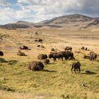 Büffel im Lamar Valley