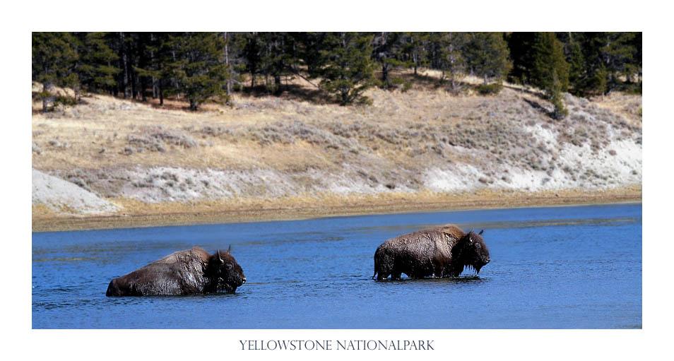 Büffel im Yellowstone Nationalpark, USA