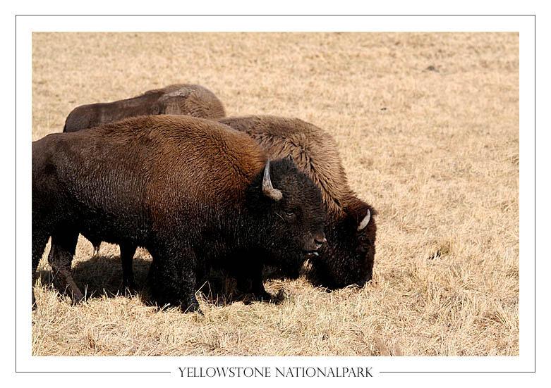 Büffel im Yellowstone Nationalpark, USA II