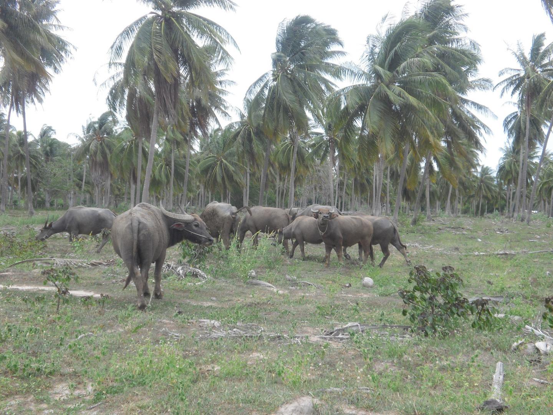 Büffel unter Palmen