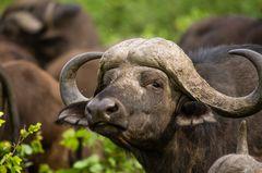 Büffelbulle im Portrait (Cyncerus caffer)