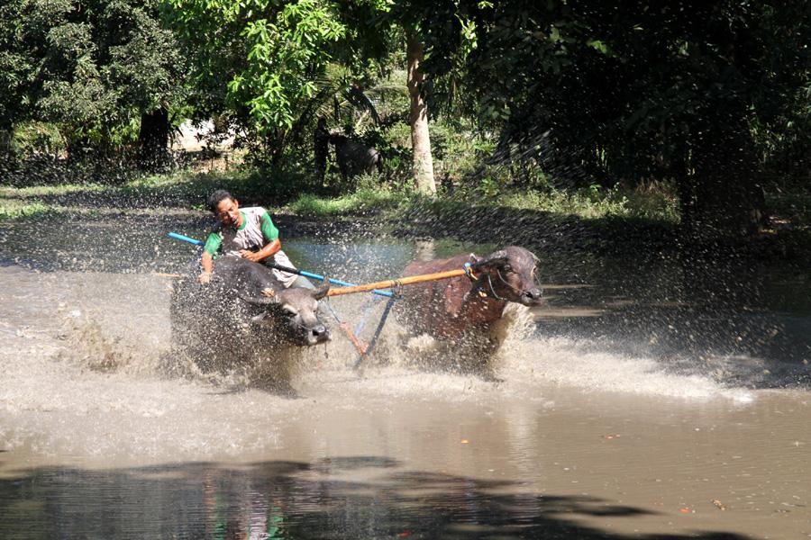 Büffelrennen auf Sumbawa / Ost-Indonesien