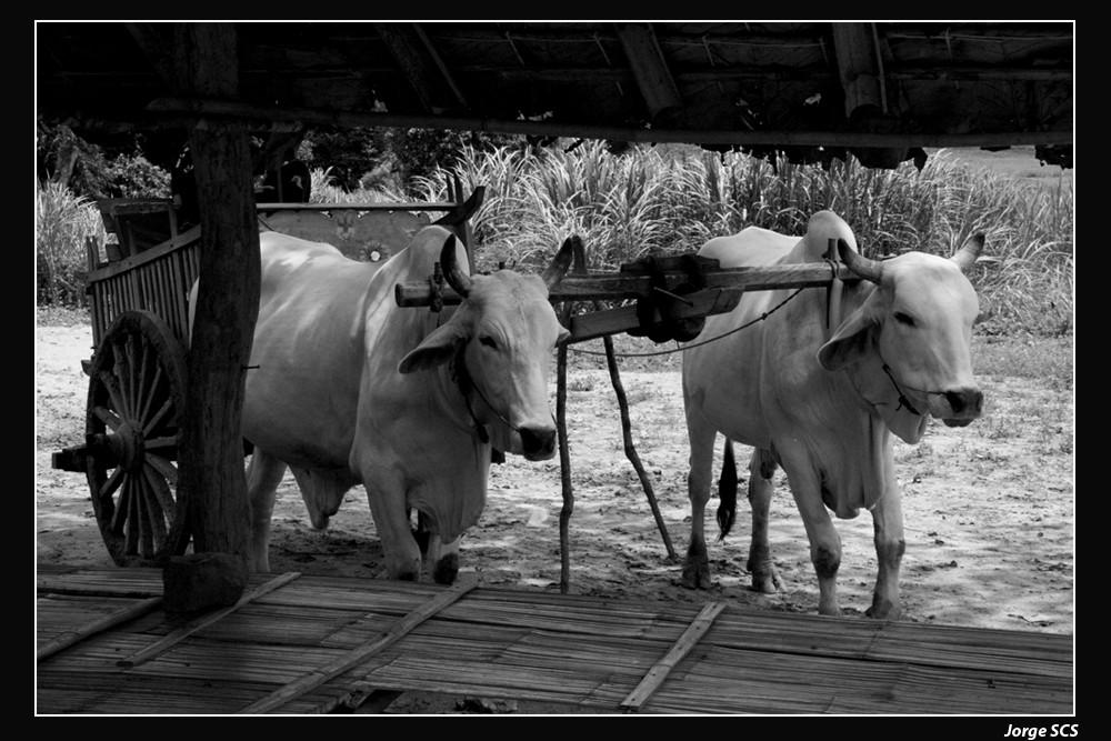 BUEYES TAILANDESES