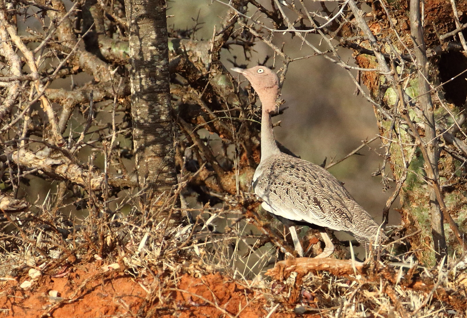 Buff-crested Bustard, Oustallettrappe