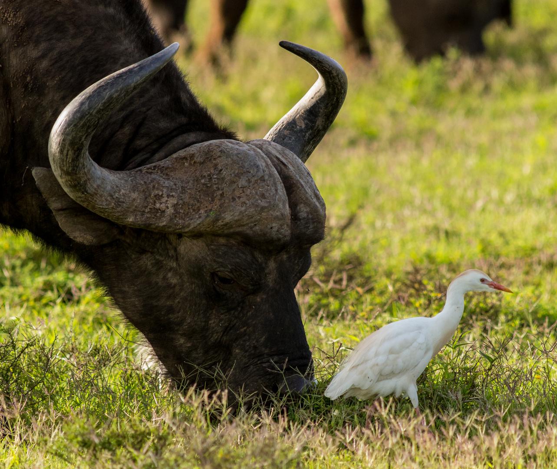 Buffalo and Company