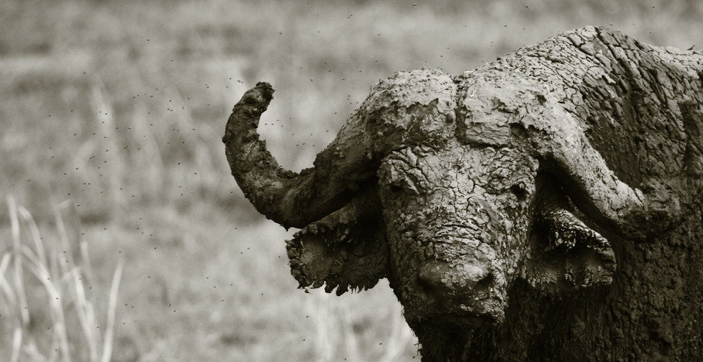 :: buffalo ::