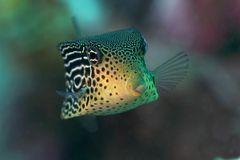 Bufferfish
