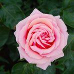 BUGA - Rose