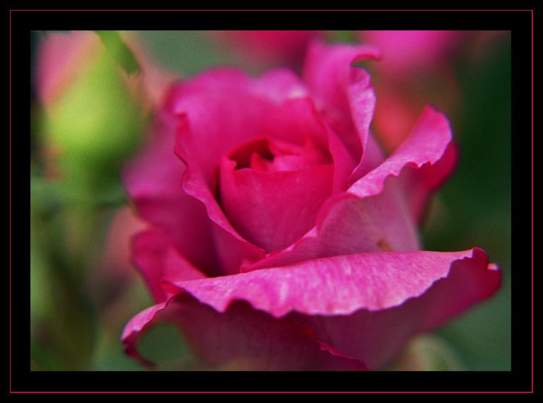 BUGA05 - Rose in pink
