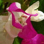 Bugambilias de dos colores