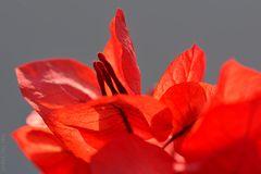 Buganvilia anaranjada