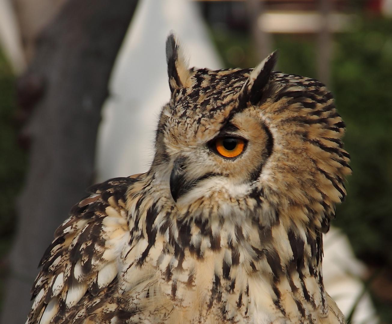 Buho indio Indian owl