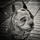bulldog frances bn