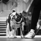 * Bulldogge *