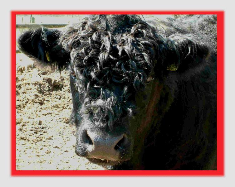 Bullenblick  (Galloway)