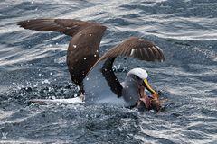 Buller-Albatros mit Beute