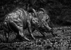 Bullfight ~ Dampak