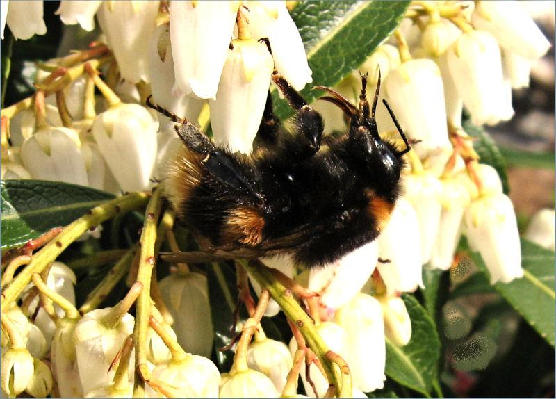 bumble-bee_on_pieris_bloom