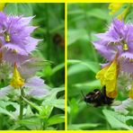 bumblebee and small beetle