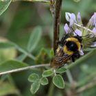 Bumblebee I
