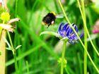 bumblebee is aproaching