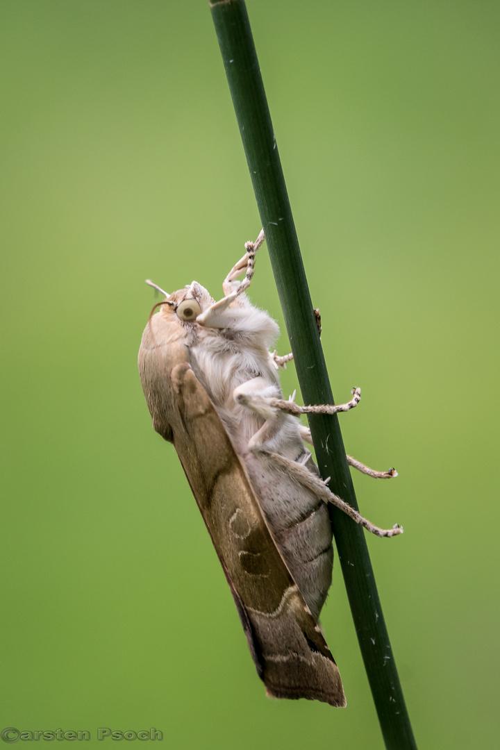 Bunte Bandeule ( Noctua fimbriata )