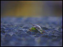 Bunte Blattwanze (Elasmostethus)