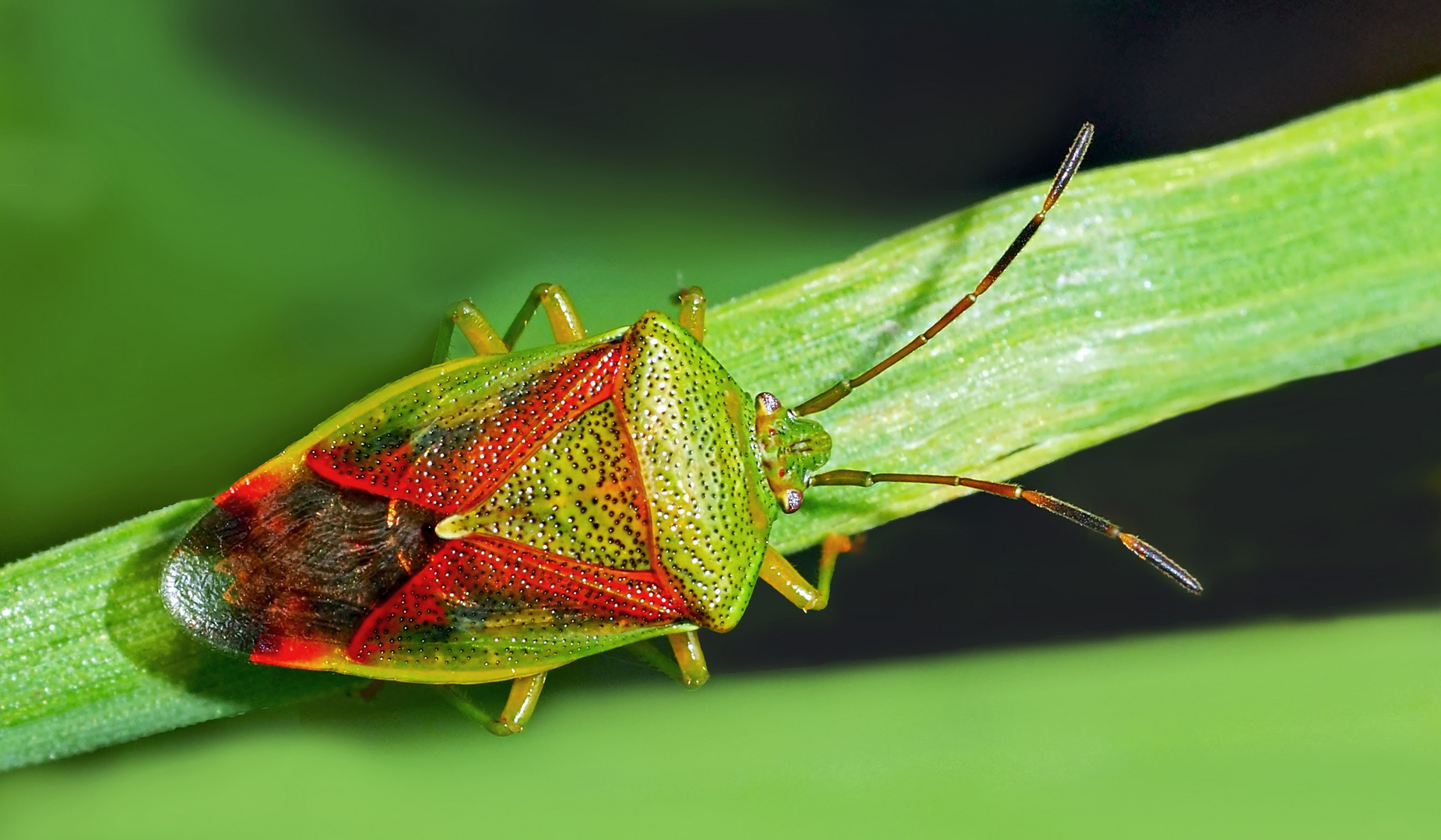 Bunte Blattwanze (Elasmostethus interstinctus) - Une punaise assouvit notre besoin de couleurs!