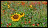 - Bunte Blumenwiese - von Wolfgang Zerbst - Naturfoto
