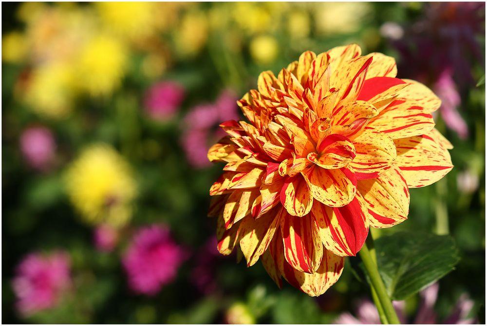 Bunte Chrysanthemen...