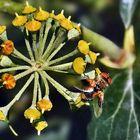 Bunte Fliege auf einer mir unbekannten Blütendolde