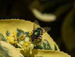 Bunte Fliege        DSC_0046