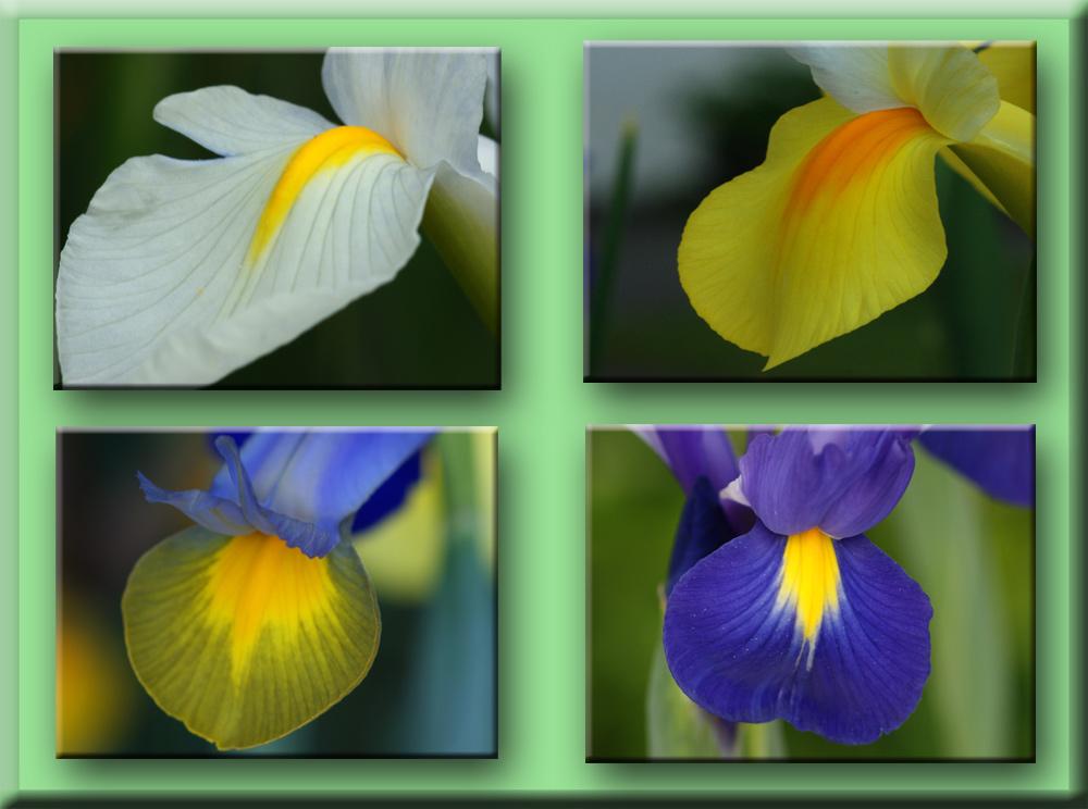 Bunte Gartenlilien Foto Bild Pflanzen Pilze Flechten Blüten