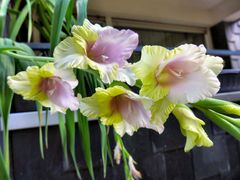 Bunte Lilien oder Gladiolen ?
