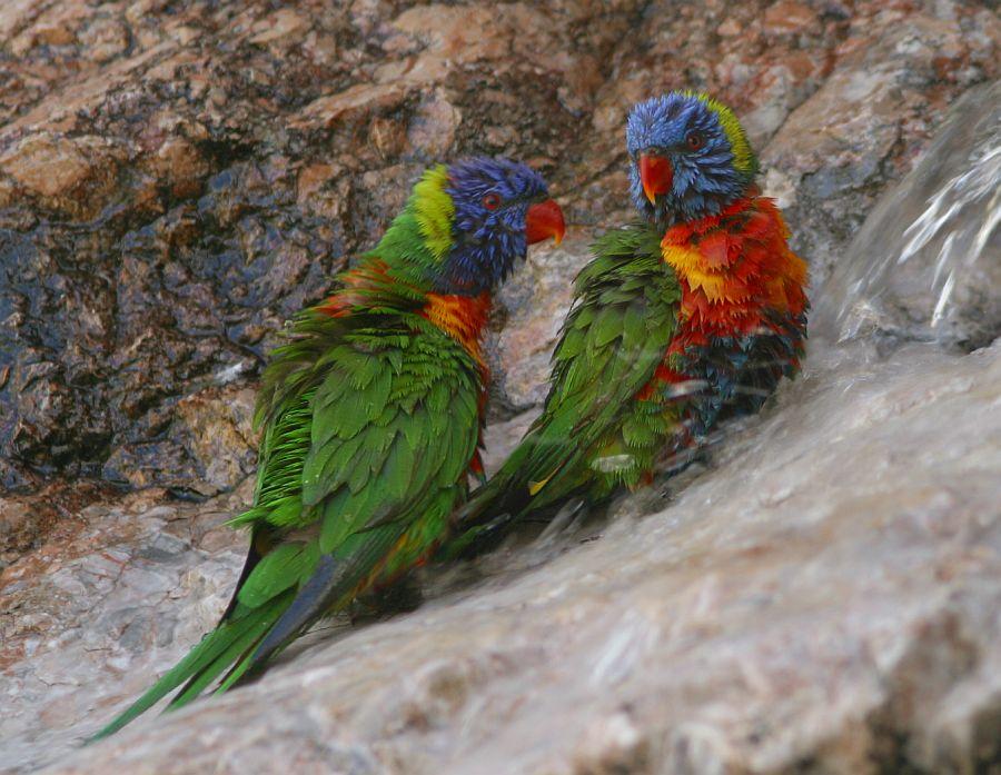 bunte papageien foto  bild  australia  oceania