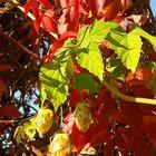 bunter Herbst, Wein (Selbskletternde Jungfernrebe), Hopfenzapfen, Beeren