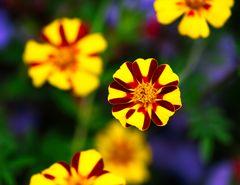 Buntes Allerlei - Tagetes, auch Studentenblume